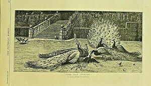 Peacock, Birds, The Vain jackdaw by W. Foster, Vintage 1878 Antique Art Print