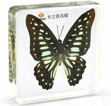 Real Veined Jay Butterfly Paperweight Insect Specimen Taxidermy