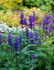 3 VIOLET RIOT Salvia Plants - Perennial Ready for Planting