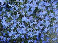 Fleur Lobelia Cambridge Bleu 0.4 g ~ Env 12,000 Graines de fleurs