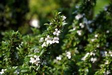 """Yatsabusa Snowrose Tree - Serissa - 2.5"""" Pot - House Plant, Fairy Garden, Bonsai"""