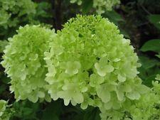 3 x Hydrangea Paniculata Limelight - Lime Green to Cream White Flower heads