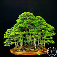 20 Pcs Seeds Juniper Bonsai Tree Garden Potted Flowers Plants Free Shipping 2021