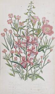 ANTIQUE Anne PRATT 1st ED 1860 BOTANICAL PRINT Flowering Rose Bay WILLOW HERB