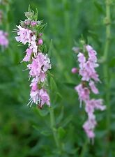 200 Graines non traitées d' HYSOPE OFFICINALE ROSE - Hyssopus officinalis rosea