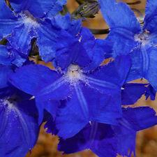 Lechenaultia biloba Blue Lechenaultia advanced native plant in 75mm pot