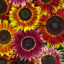 Kings Seeds - Sunflower Harlequin Mixed F1 - 25 Seeds