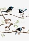 Watercolour Superb Fairy Wren Print - blue wren art, australian bird prints