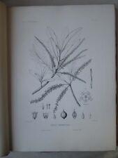 Vintage Print,PLATE 51,IRON WOOD,Silva,Trees,1st Ed.c1900