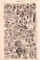 1874 Estampado Mollusca 30 Plus Imágenes