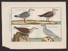 Histoire naturelle de Direxit 1754 OISEAU DE MER, MOUETTE GOELAND BOURGMESTRE
