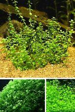 Wasserwald winterharte Wasserpflanzen für den Teich Teichpflanzen Teichpflanze