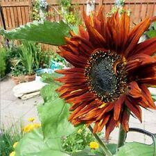 SUNFLOWER Royal Velvet Seeds (F 44)