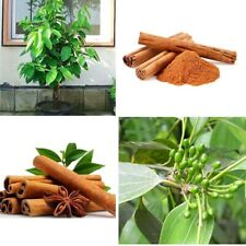 50 Cinnamon Tree Seeds Mixed Houseplant Evergreen Plant Dwarf Seasoning Bonsai