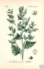 Melden (Atriplex) Rosen Melde  Nahrungspflanze Pottasche Lithographie Thome 1886