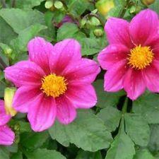Dahlia- Variabilis- Mignon Rose- 25 seeds