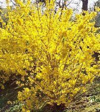 "12+ Yellow Gold HARDY FORSYTHIA UNROOTED 6""- 8"" CUTTINGS Bush/shrub  Hedge"
