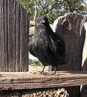 Realistic Lifelike Raven CK162