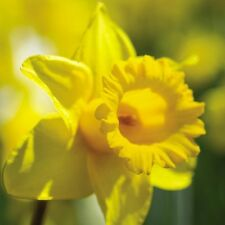 Get Well Soon Card - Daffodil - Bright & Sunny to cheer you up & FREE Postage