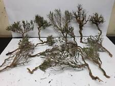 Timo   seamoss  ulivo secolare  presepe   natale albero diorama pasquale