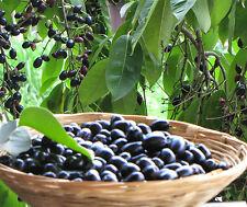 Live Black Jamun Grafted Jam Sweet Fruit Plant 2 Plants