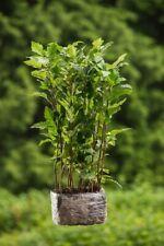 Elsbeere 10 Stück Jungpflanzen Sorbus Torminalis Topfpflanzen 10-30cm Edelholz