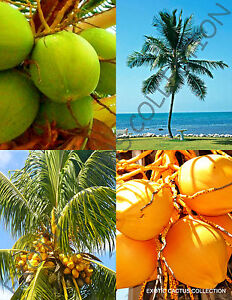 YELLOW & GREEN COCONUT PACK @ cocos nucifera exotic palm tree seed 2 live seeds