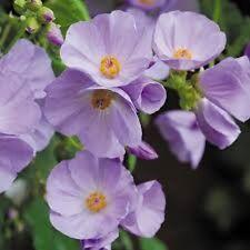 15+ Lilac / Lavender Abutilon Flowering Maple Flower Seeds / Perennial