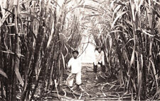 Vintage 1900  Photograph Sugar Cane Cutting in the Philippines