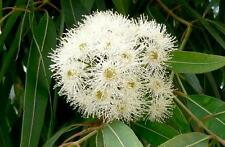 Eucalyptus botroydes   (20 seeds/ graines)