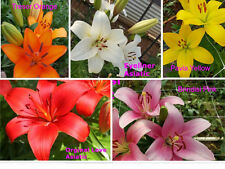 30 Mixed Coloured Asiatic Lily Bulbs, Ultimate Pack. Flowering Sized Bulbs