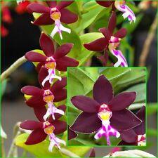 """5"""" Long Rare Orchids Plants, Trichoglottis Brachiata Sp. Flower size"""