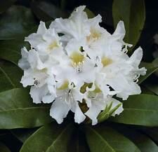 Alpi Rose Garofani Rhododendron metallica 30-40cm