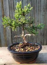 Parsoni juniper Bonsai Tree in 6 inch oval dark blue pot.Jin and shari