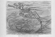 Großer Fetzenfisch Phycodurus eques Holzstich von 1892 Fische antique print