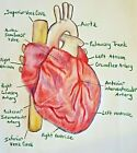 Anatomy of Heart Art Print 4 x 6 Collectible Signed by Artist KSams Medical