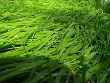 25 SWEET GRASS PURE SEEDS Heirochloe Odorata SACRED Plant