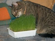 Catgrass Seeds- Herb- Crested Wheatgrass- 300+ Seeds         $1.69 Max Shipping
