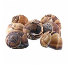 Escargot Snail Shells  Empty Premium Jumbo Large 72 pieces