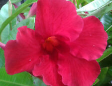 Mandevilla- 'Giant Crimson'  Lot of 2 ~ Starter Plants~