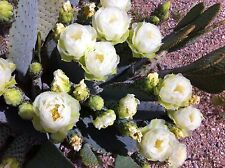 """Beaver Tail Cactus -White Blooms-Very Rare-One 6""""-8"""" Pad (Cutting)"""