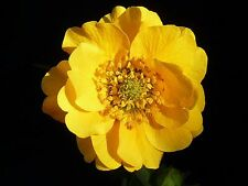 Geum Lady Strathden in 50mm forestry tube perennial