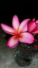BIG  frangipani tree 40-60 cm tall  dusky hot pink x orange centre    $20