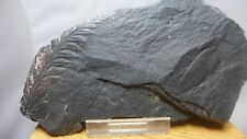 GEOLOGICAL ENTERPRISES Pennsylvanian Fossil Fern Alethopteris serlii
