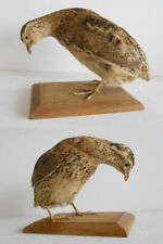 ANTIQUE TAXIDERMY BIRD - OISEAU Empaillé Taxidermie / QUAIL CAILLE