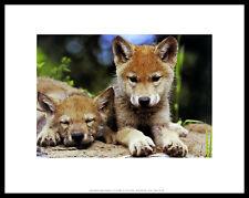 ART WOLFE Spring Wolf Pups poster immagine stampa d'arte nel quadro in alluminio nero 28x36cm