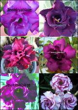 """Adenium Obesum Desert Rose """" Queen Colour"""" 6 Plants 6 Types!"""
