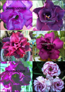 "Adenium Obesum Desert Rose /""Alexandra/"" 100 Seeds !! New!"