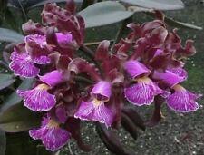 Cattleya schilleriana var. imperialis Orchidee / RARE!!!