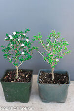 "Chinese Flowering Mt. Fuji & Snow Rose Serissa Pre-Bonsai Trees 4"" Pot Set of 2"